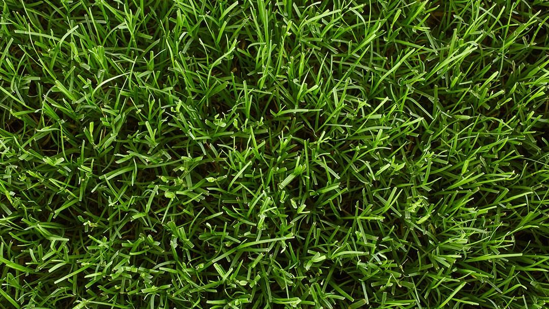 Droughttolerant lawn grasses drought tolerant grass