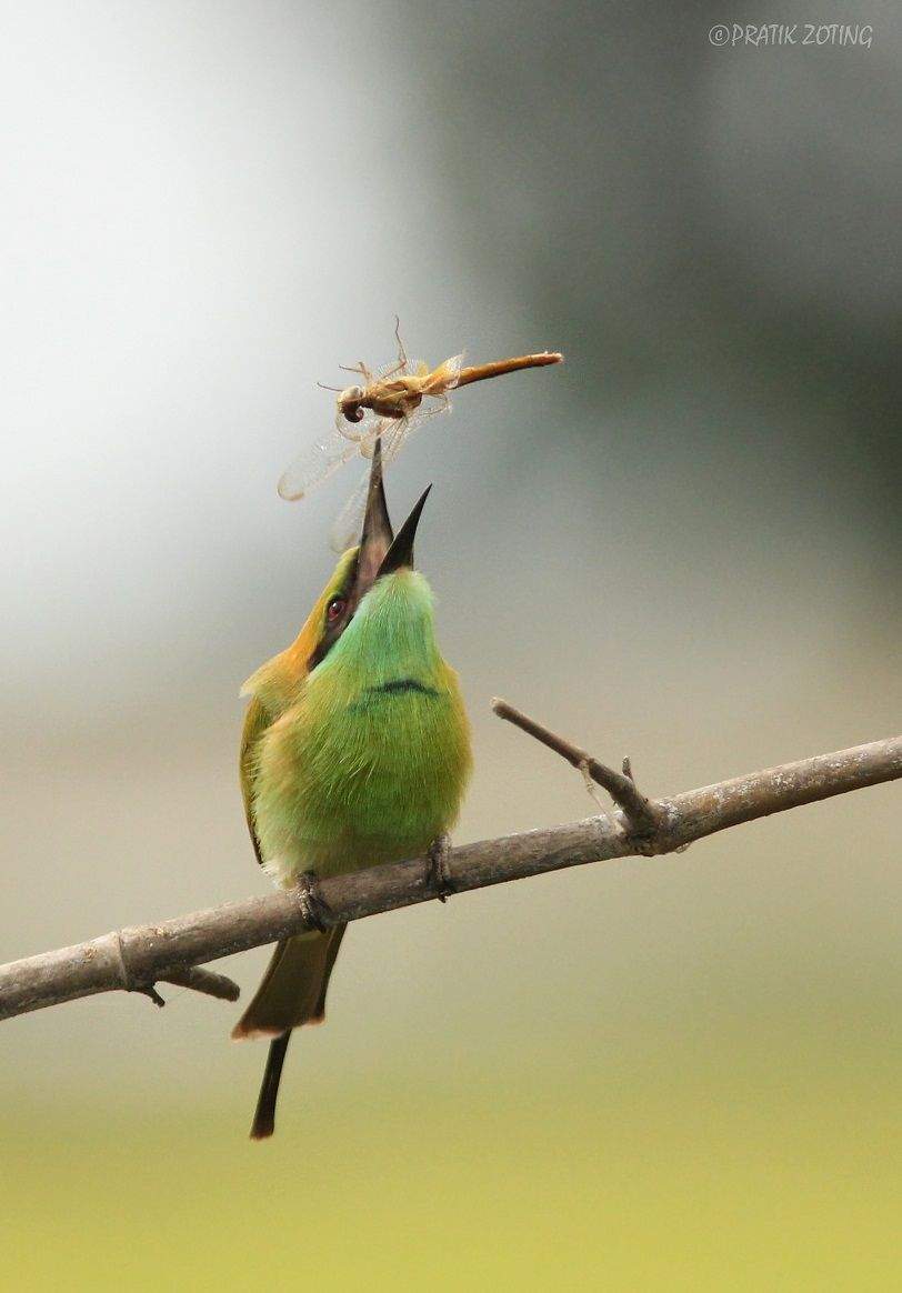 Green Bee Eater tossing its catch