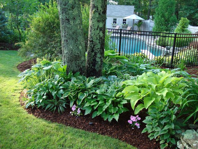 Hostas Are Great Low Care Landscaping Plants For Shady Areas