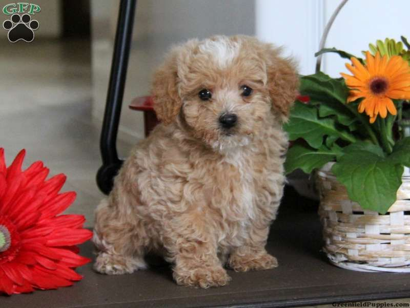 Barney Maltese Mix Puppy For Sale In Pennsylvania Animals