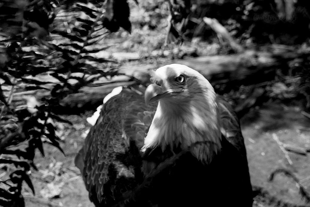 Eagle Two by Evanescent-Chaos on DeviantArt