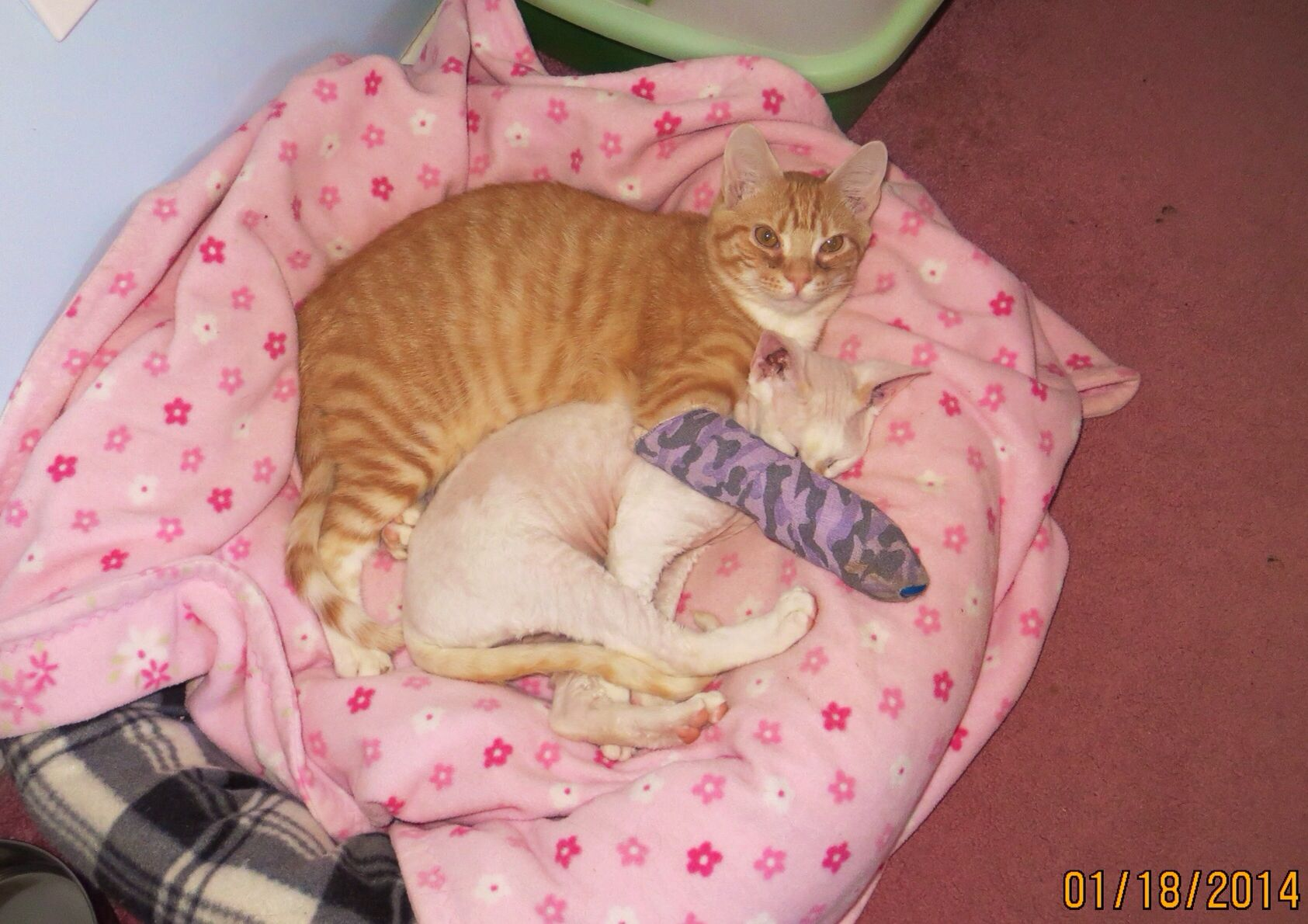 """Devon Rex Cat, Sparky with Giselle (Orange Tabby) on Jan. 18, 2013. Unable to get around as usual, Giselle rests on the floor, and Sparky snuggles up right with her. Sparky is now 4 months old. He's such a sweet brother. (Giselle is our """"Happy Cat"""", although she has a broken foot right now."""