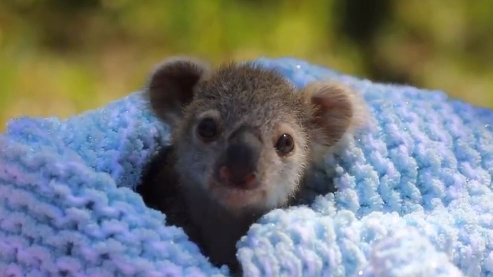 Meet Elsa The Baby Koala Warming Hearts Across The Internet Kutv Cute Baby Animals Cute Funny Animals Animals