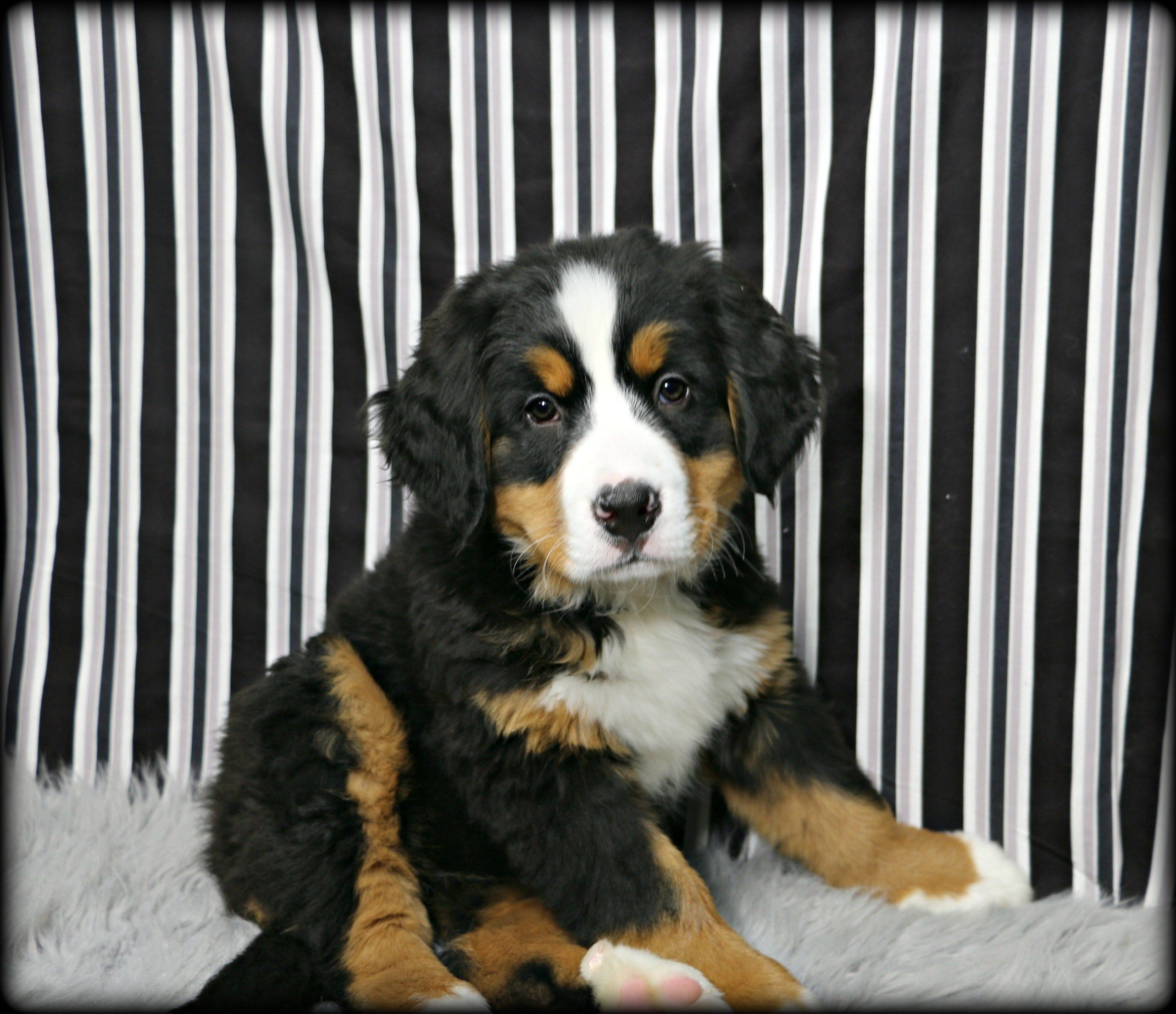 Puppies For Sale Petland In Overland Park Kansas City Puppies For Sale Puppies Petland Puppies