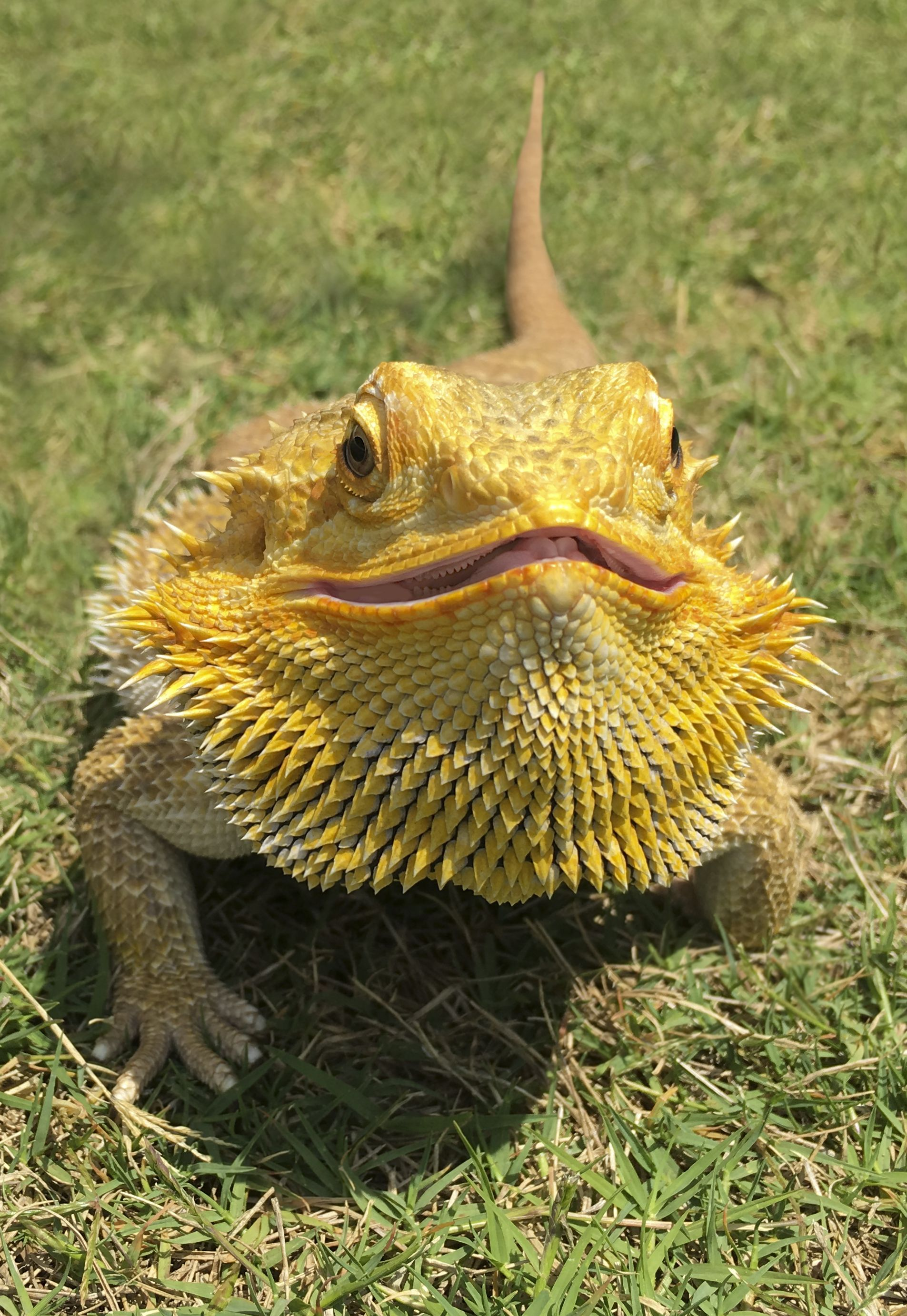 p>Bearded dragons get their name from the ability to