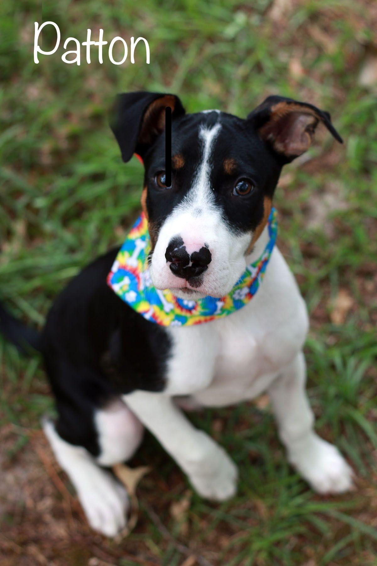 Adopt Patton on Terrier mix, Pitbull terrier, Bull