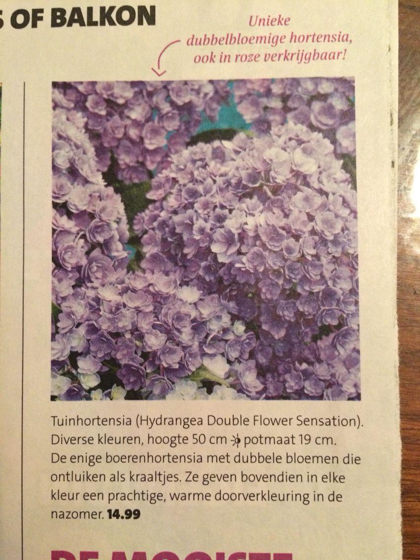 De enige boerenhortensia met dubbele bloemen die ontluiken als kraaltjes