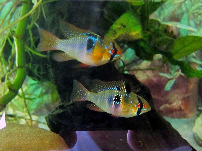 German Blue Rams For Sale Fish Pet Cichlids Blue