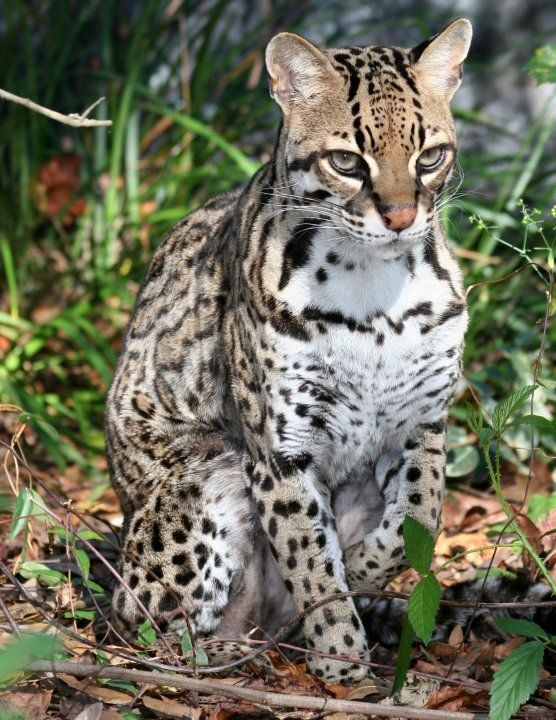 Scenes From Big Cat Rescue Nirvana The Ocelot Leopardus Pardalis Via Big Cat Rescue Tampa Fl Small Wild Cats Big Cat Rescue Cats