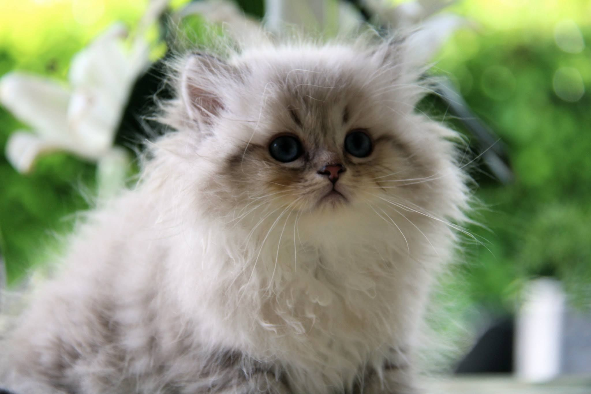 British Longhair Seal Golden Tabby Point Cat Chat Animal Babycat Kitten Bordeaux Britishlonghair Colorpoint Arthoria Br Baby Cats Hello Kitten Cats