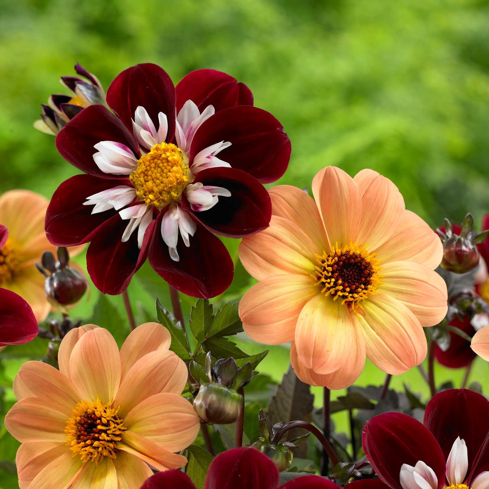 Know your dahlias flower styles and sizes dahlia jiina mignon dahlias have daisy like flowers with a single row of petals around a contrasting center the compact plants often with dark colored foliage izmirmasajfo