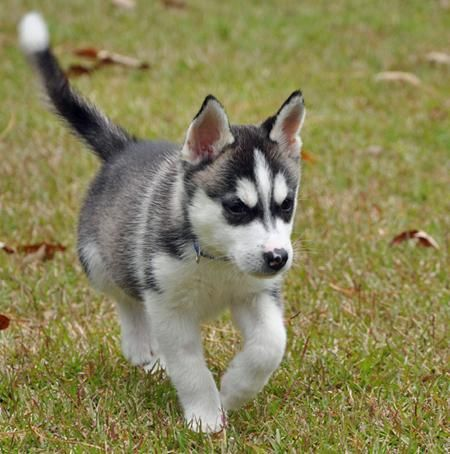 Small Full Grown Dog Lincoln The Siberian Husky Puppies