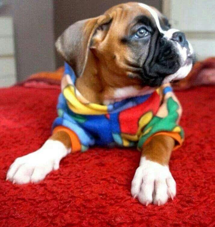 Boxer Baby Boxer Puppies Boxer Dogs Boxer