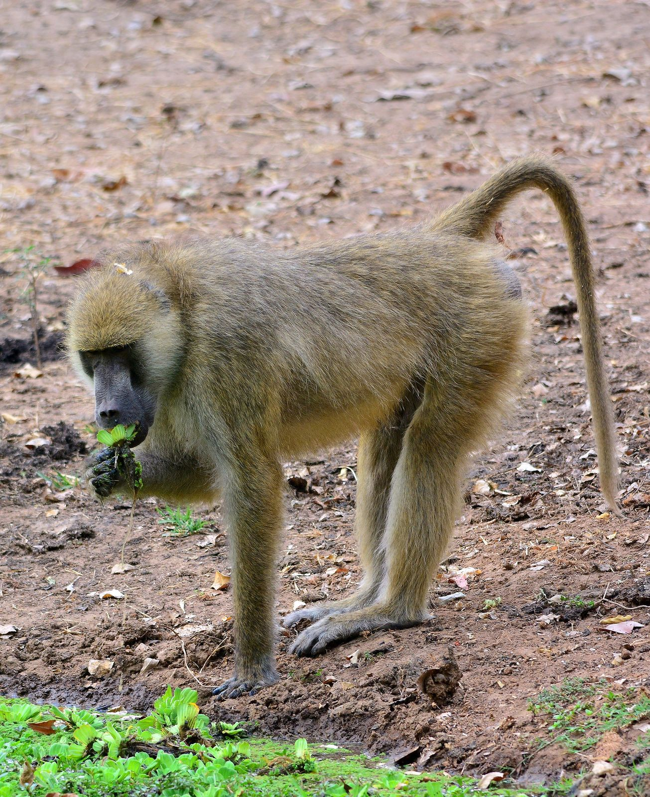 Yellow Baboon (Papio cynocephalus) photographed by Roger Sargent