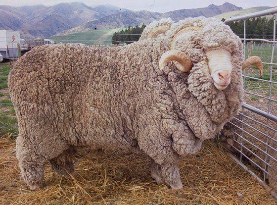 Merino Sheep and Lamb, Australian Sheeps, Leicester Sheep