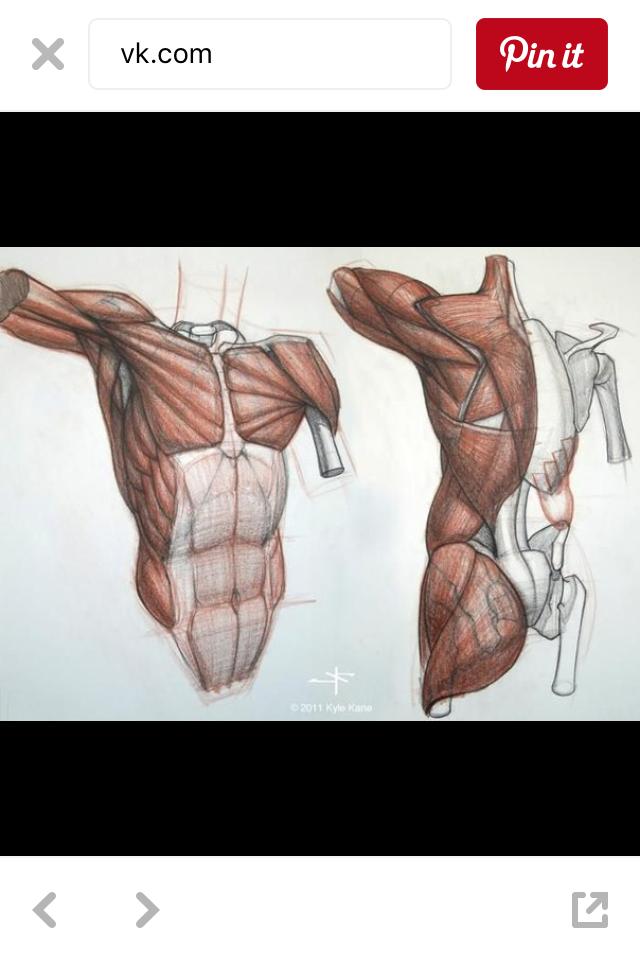 Pin de hào nguyễn en Art | Pinterest | Musculos del cuerpo, Músculos ...