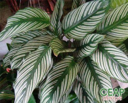 Calathea picturata recherche google peque as for Vivero plantas exoticas
