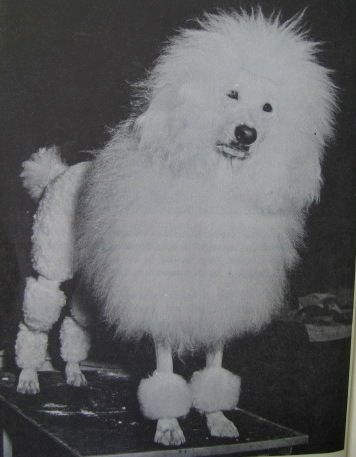 Standard poodle wow, glad that look is no longer used