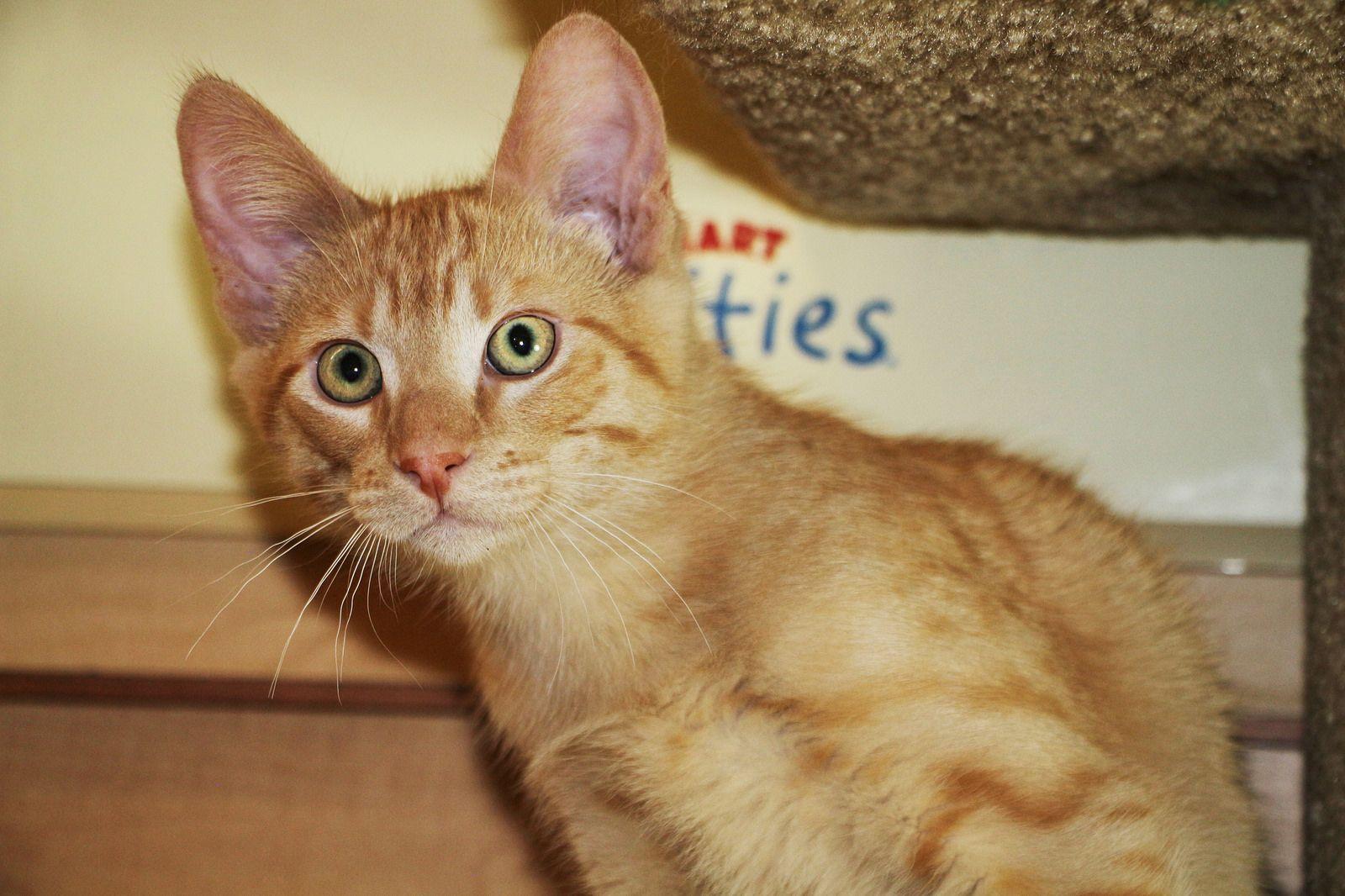 Punkin Scat Petsmart Adoption Centre June 6 2016 Cat Adoption Adoption Center Cat Photo