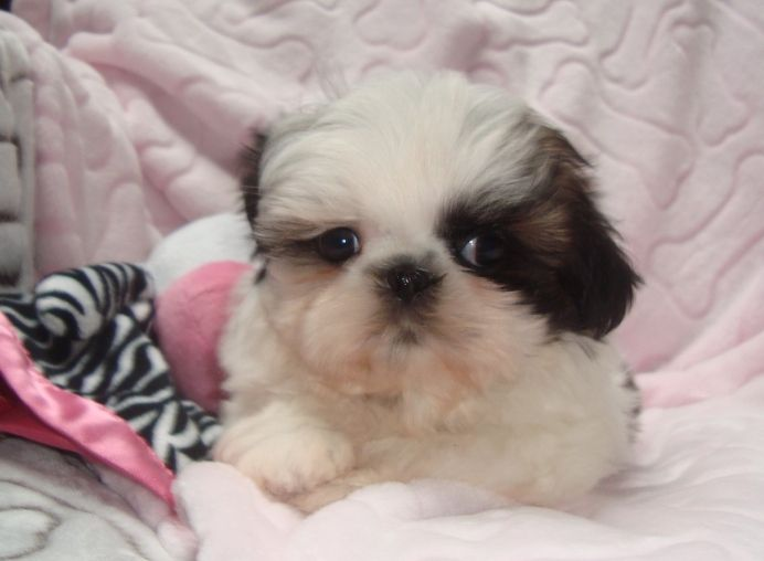 Iowa Nursery Tiny Tot Shih Tzu 1000 2000 Shih Tzu Puppies
