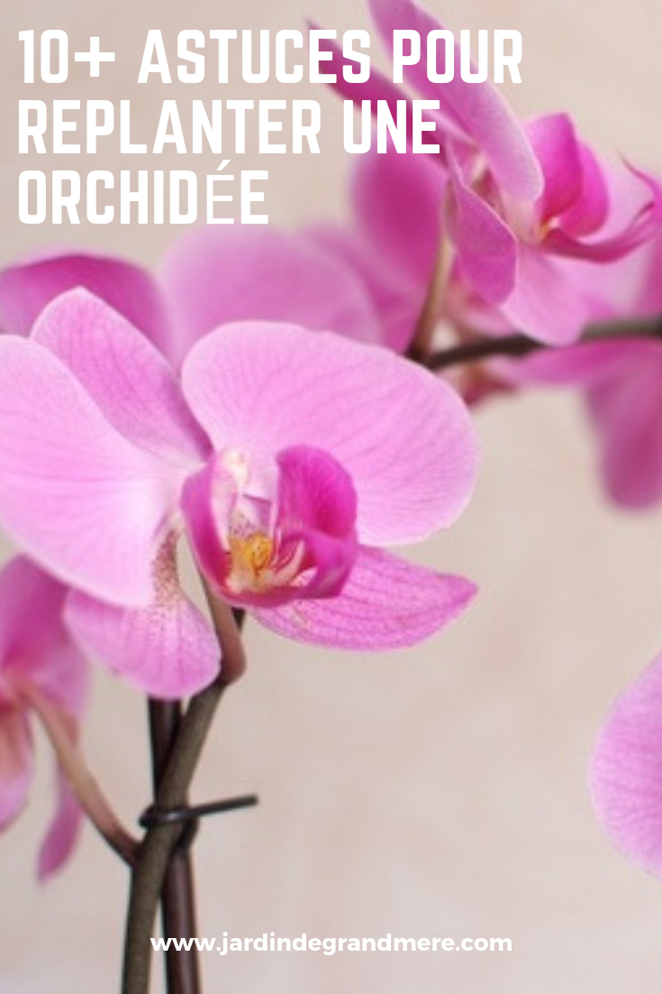 10 Astuces Pour Replanter Une Orchidee Orchidee Replanter