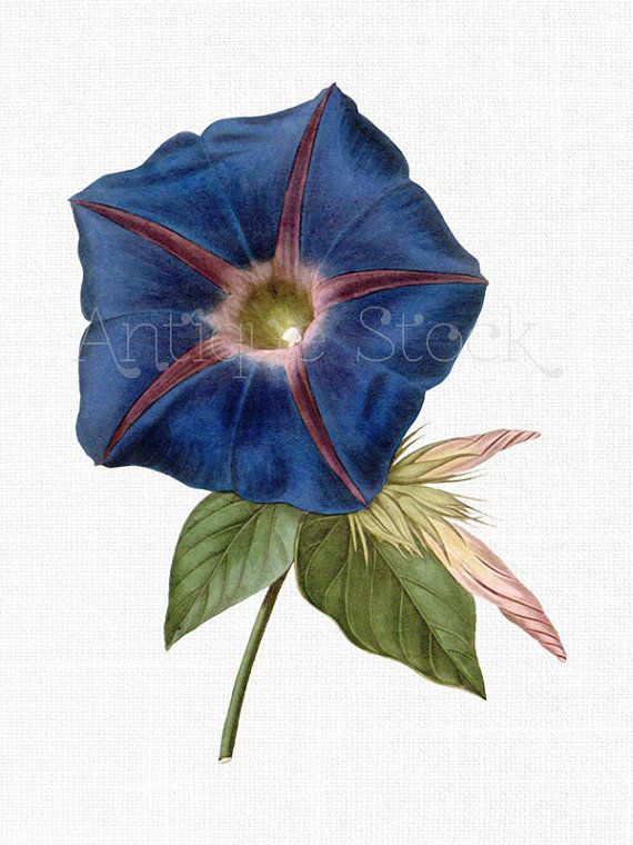 Botanical Illustration Flower Clipart Blue Morning Etsy Flower Prints Art Vintage Botanical Prints Flower Illustration