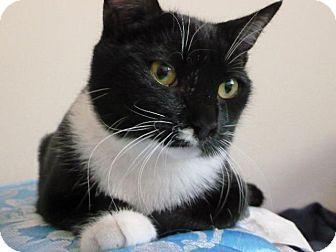 Seattle Wa Domestic Shorthair Meet Mr Snuggles A Cat For Adoption Cat Adoption Kitten Adoption Pets