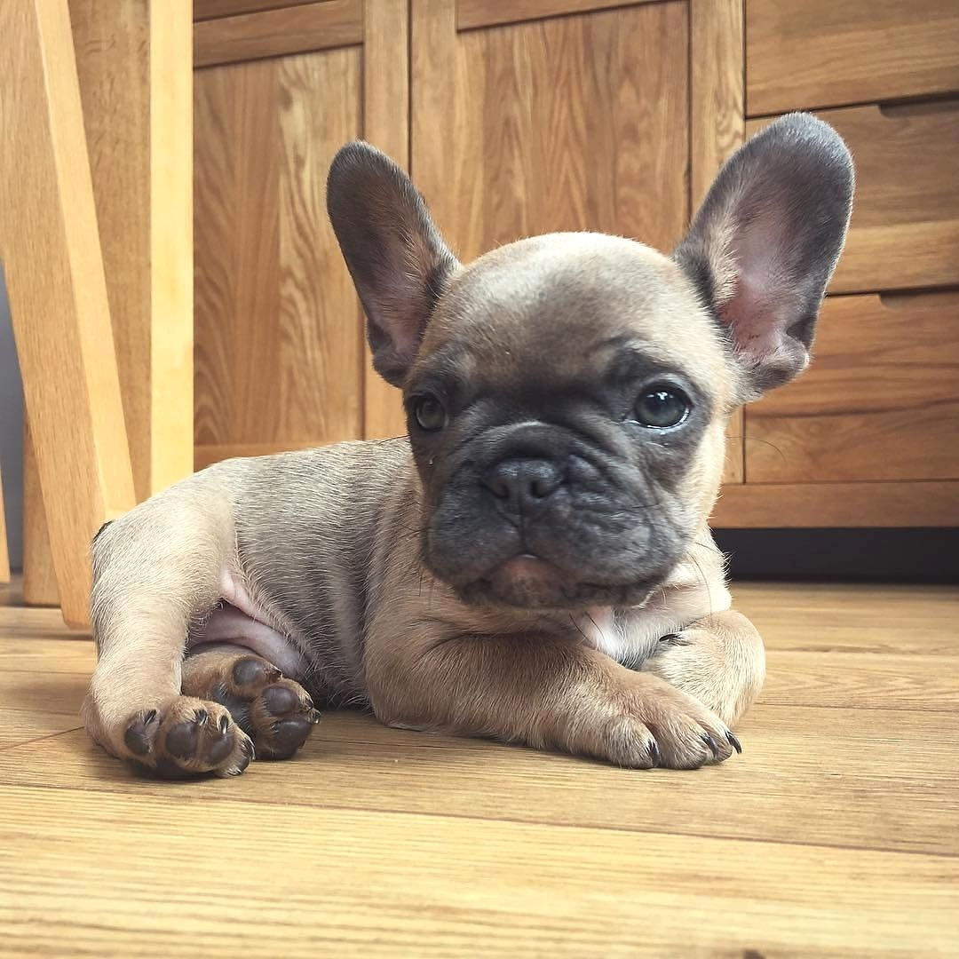 French Bulldog Puppy Just Chillin Bulldog Puppies Cute French
