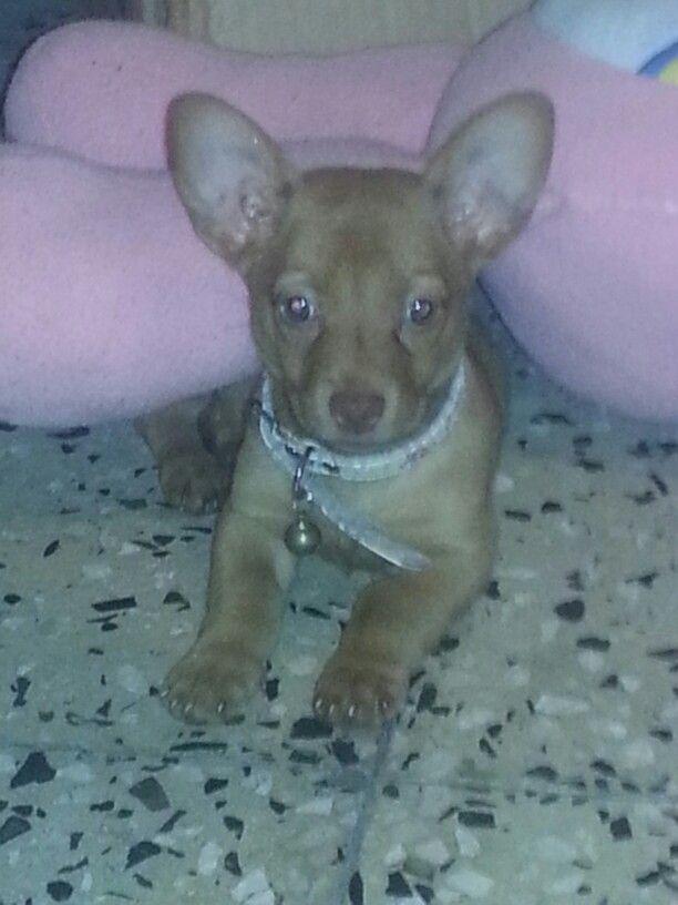 Mi chihuahua canelita