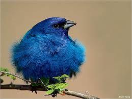 The blue bird of
