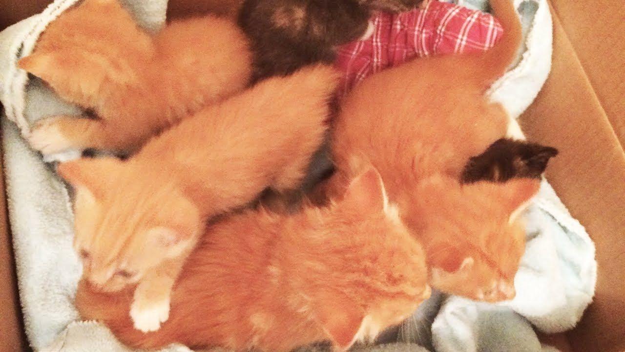 Fluffy Foster Kitten Eating Wet Food Fatfat Leroi Of The Pumpkins Youtube Tabby Kitten Orange Feeding Kittens Tabby Kitten