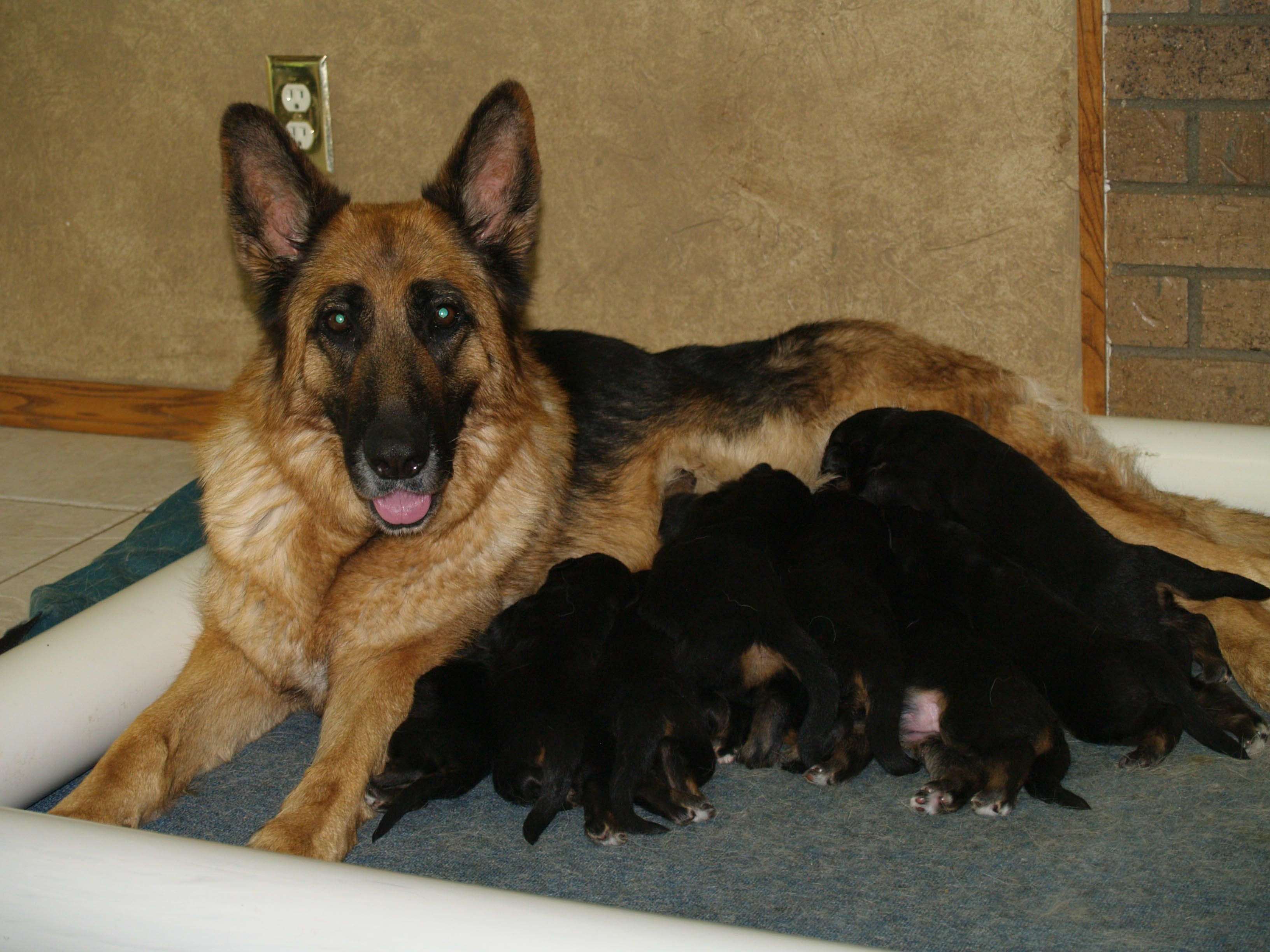 Pictured Is Our Beautiful Olivia With A Previous Litter Of Puppies