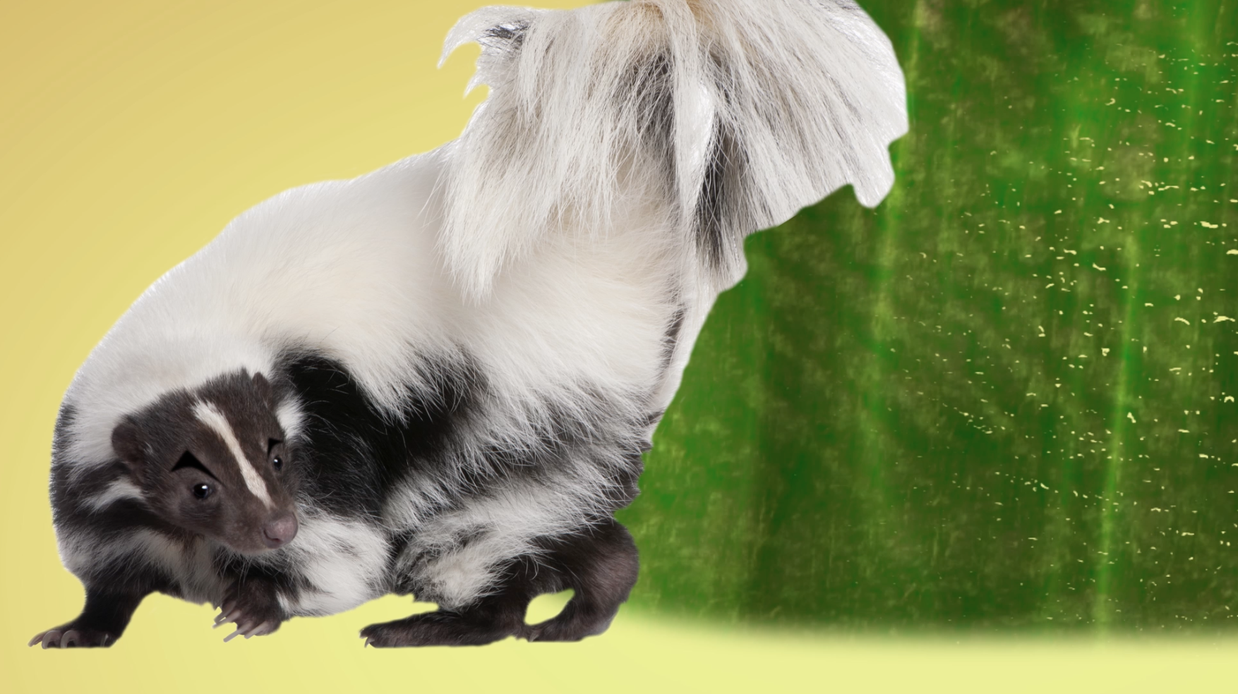 Ask Smithsonian: What Makes Skunk Spray Smell So Terrible