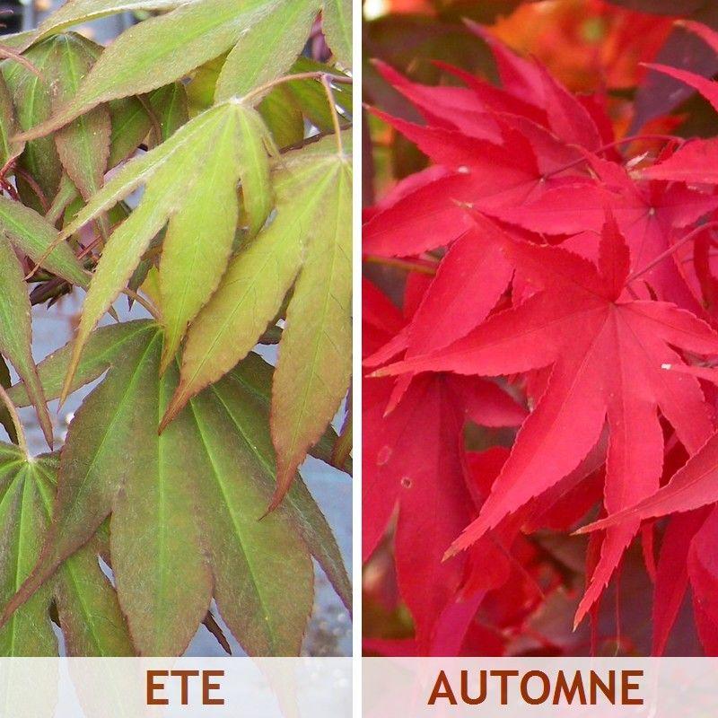 foto de Acer palmatum 'Osakazuki' Feuilles rouge vif en automne