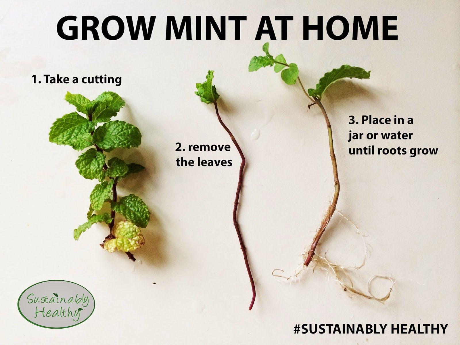 Grow Mint In Singapore Growing Mint Growing Mint Indoors Mint Plants
