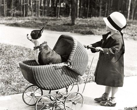 Walking the Dog. Vintage photo of girl with Boston terrier in a stroller.