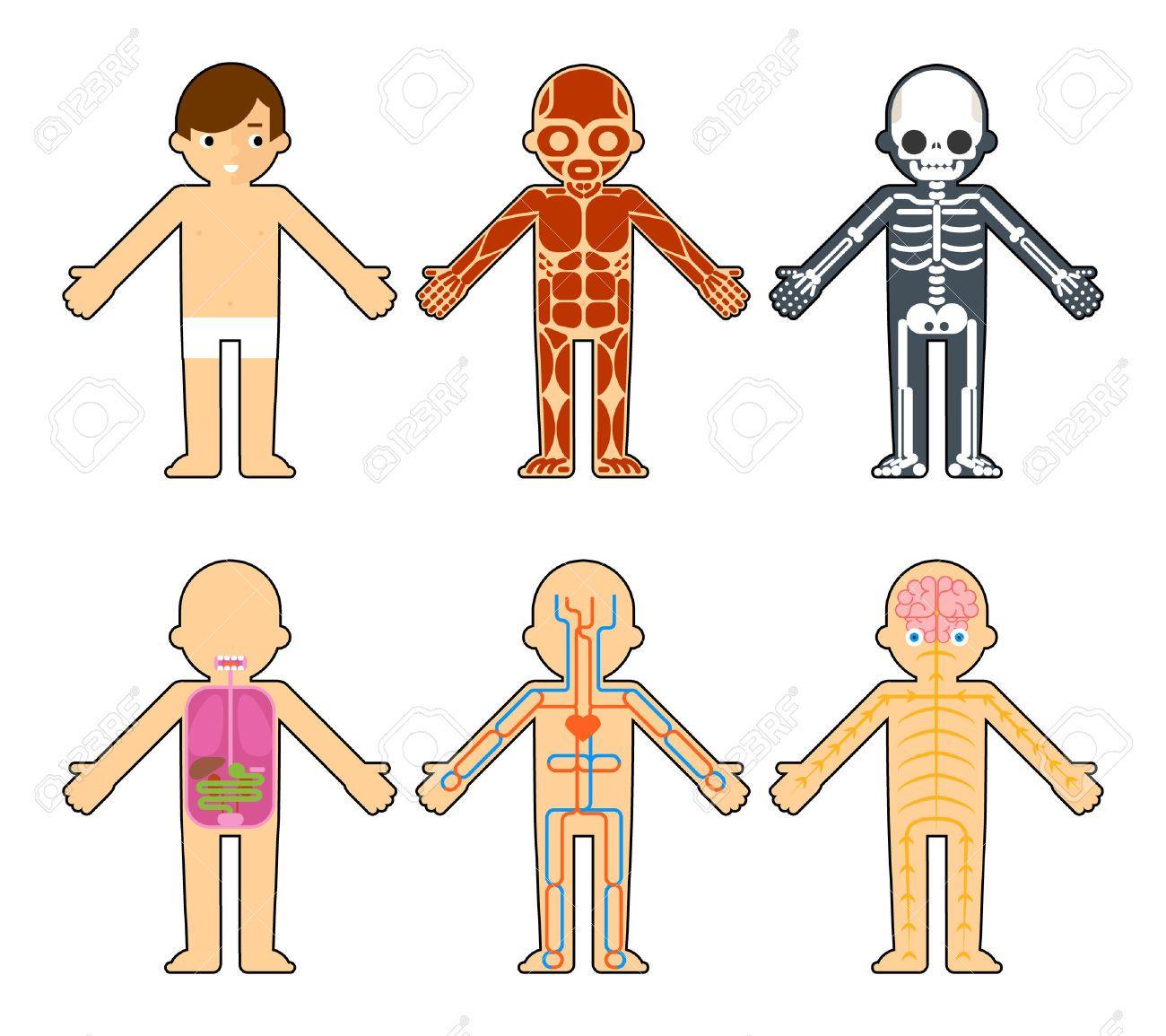 La anatomía del cuerpo para los niños. El esqueleto y los músculos ...