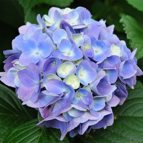 Hydrangea Biru. Nama ilmiah : Hydrangea sp. Cocok tumbuh pada dataran tinggi dengan cuaca tinggi. Pertumbuhan unik, warna bunga dapat berubah dari hijau, putih kemudian menjadi biru muda. Pertumbuhan sedang/tumbuh daun dalam beberapa minggu. Harga Rp 45.000. Dapat dikunjungi di http://kebunbibit.com/674-hydrangea-biru.html