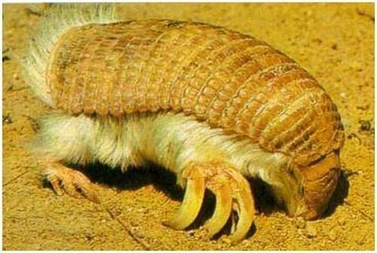 "Pink Fairy Armadillo ~ found in central Argentina where it inhabits dry grasslands & sandy plains with thorn bushes & cacti. It has the ability to bury itself completely in a matter of seconds if frightened. They burrows small holes near ant colonies in dry dirt. It feeds mainly on ants and ant larvae near its burrow.				  					24  					""The Mickey Mouse of the desert"" - mouse-like rodent with a long tail, long hind legs for jumping, and exceptionally la"