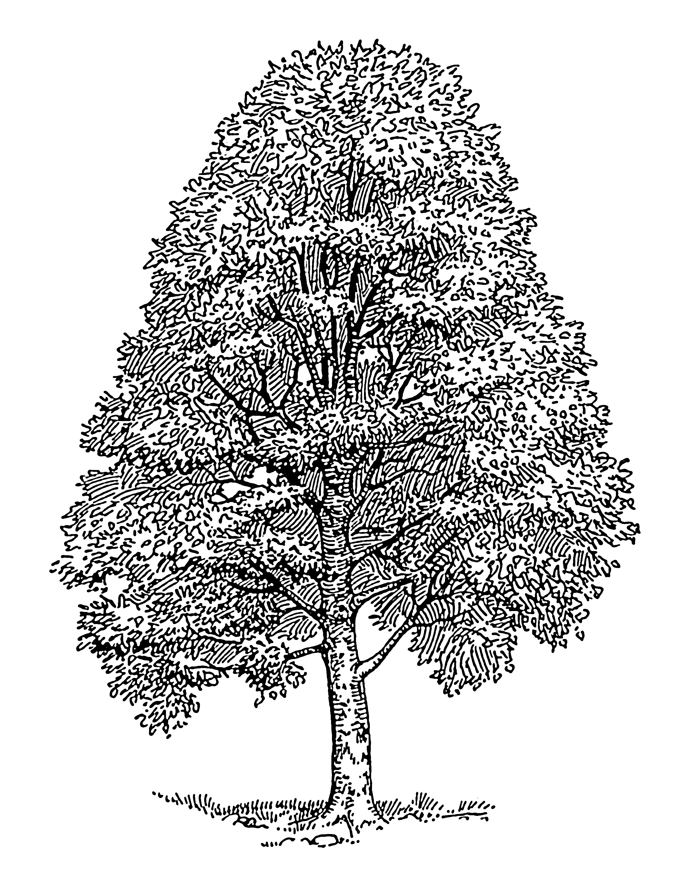 Line Drawing Of Tree : Images for gt easy cedar tree drawing trees pinterest