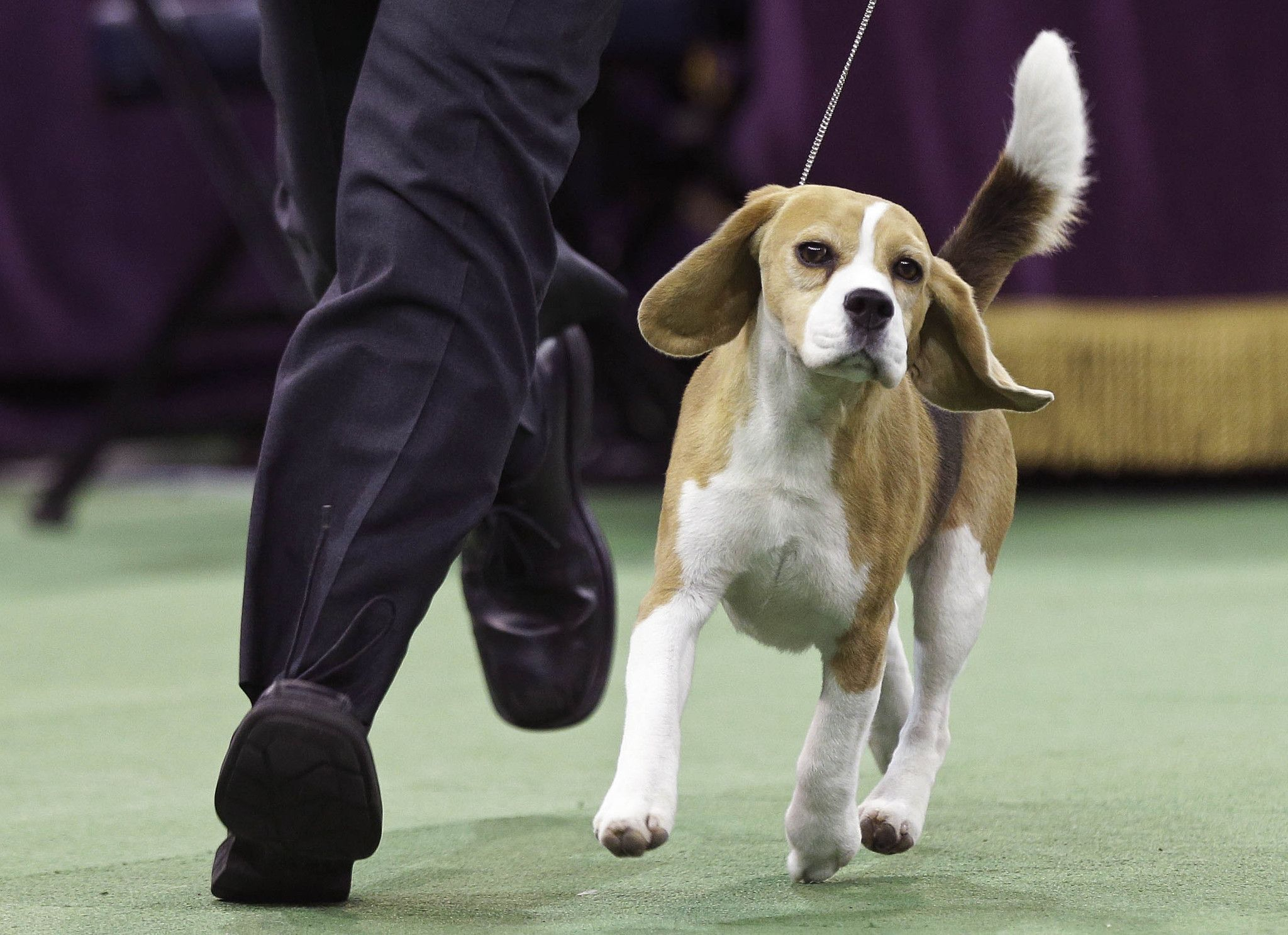 Miss P A Beagle Takes Crown At Westminster Dog Show