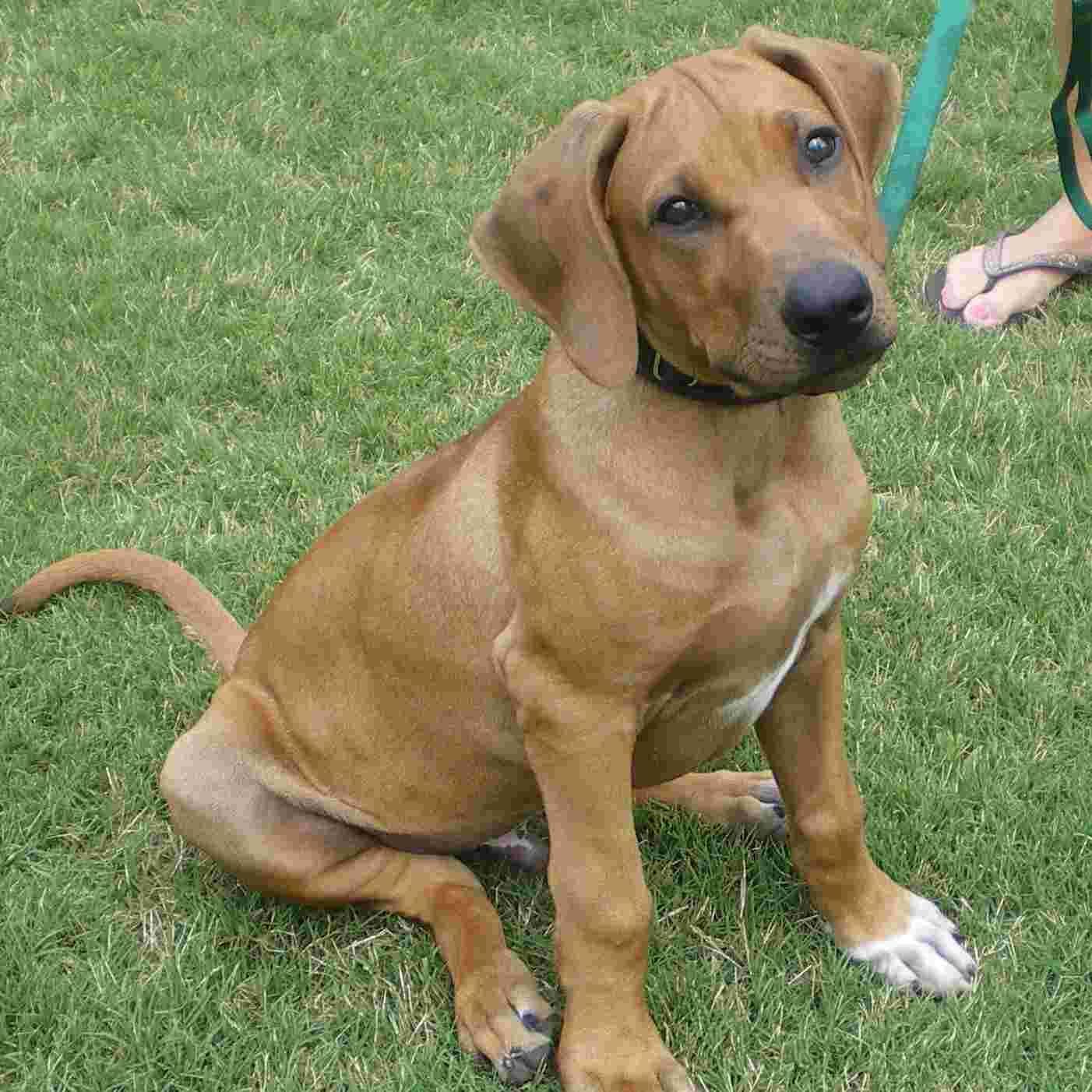 Rhodesian Ridgeback Bullet Rhodesian Ridgeback Rhodesian Ridgeback Dog Fence Dogs