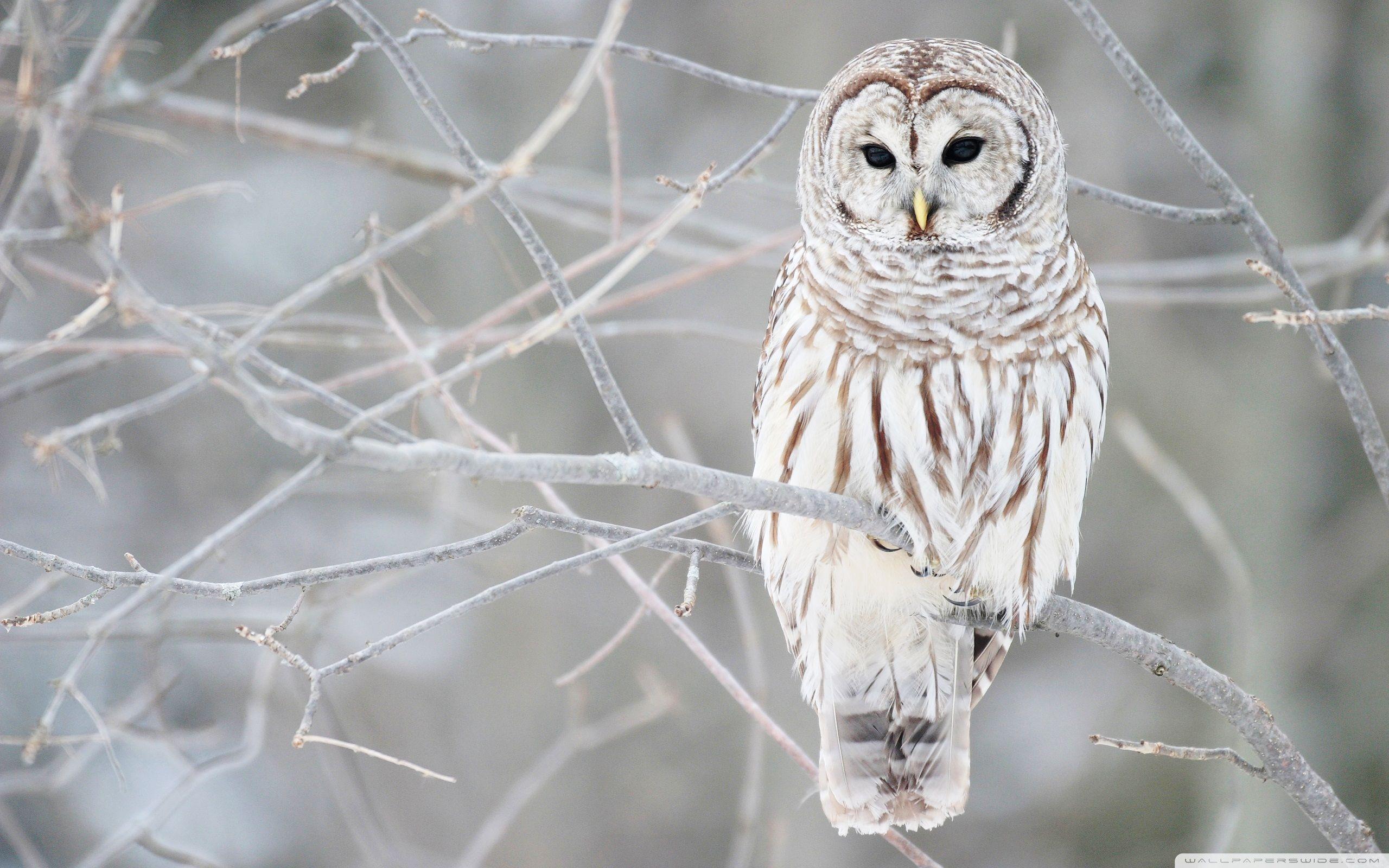 Owls Hledat Googlem Owl Wallpaper Owl Photos Barred Owl
