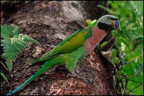 Red-Breasted parakeet (Psittacula alexandri) | Feathered