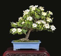 Lovely My Own Instructions For Gardenia Care U003c3 · Bonsai Tree ...