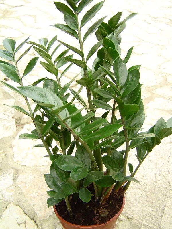 Zamioculcas zamiifolia Plants Pinterest Zimmerpflanzen - tipps pflege pflanzen wintergarten
