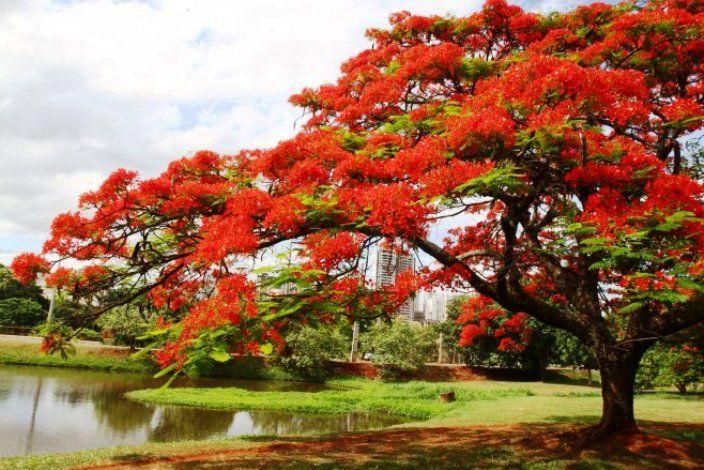 Gambar Bunga Flamboyan Yang Khas Flowering Trees Poinciana