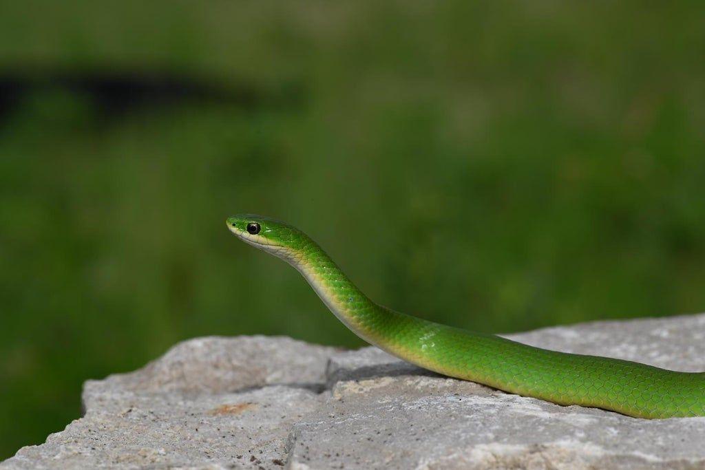 Lifer Smooth Green Snake Found In Indiana Herpetology Snake Pet Snake Indiana