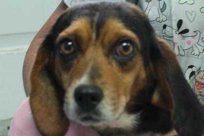 Name Petunia Breed Beagle Located Robinson Illinois Gender