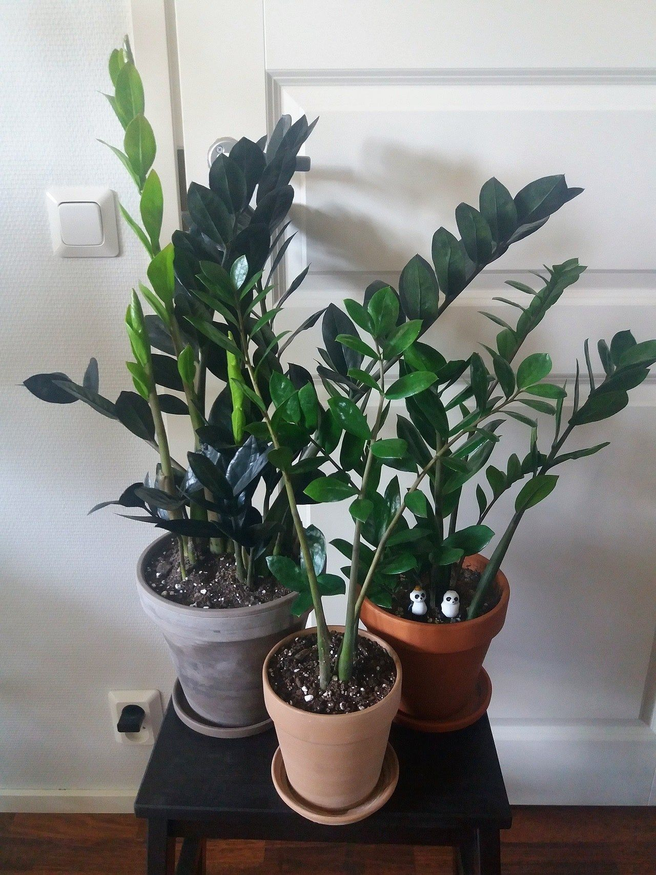 One could think that ZZ plants are my favourite but somehow I just end up with these. Spot the pandas!